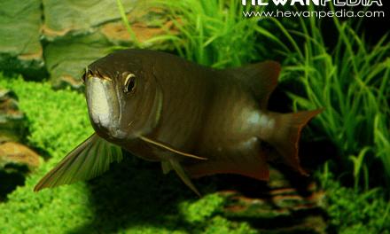 Harga Ikan Arwana pada 2019