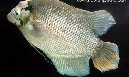 Mengenal Habitat dan Morfologi Fisik Ikan Gurame