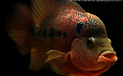 4 Cara Ampuh Menambah Warna Pada Ikan Louhan