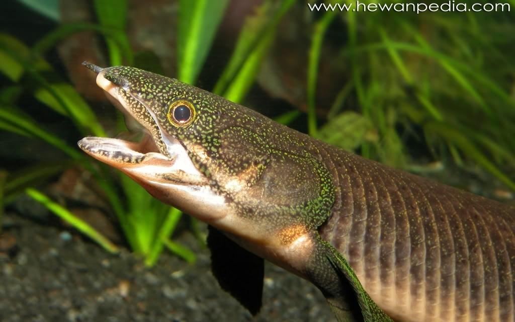 5 Cara Memelihara Ikan Palmas di Akuarium