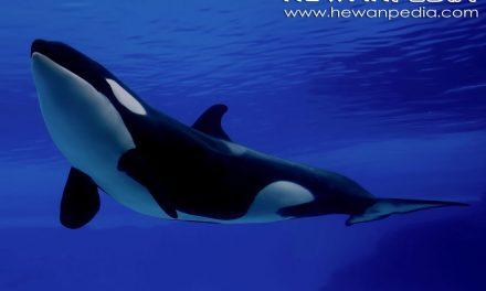 Paus Pembunuh atau Orca