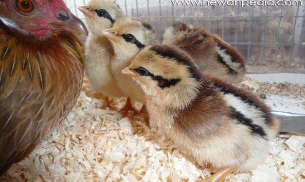 5 Langkah Cara Mudah Beternak Budidaya Ayam Kate untuk Pemula