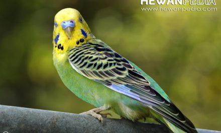 Perbedaan Burung Parkit Jantan Dan Betina