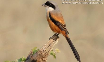 Burung Pentet Manja ? Atasi dengan Cara Ini