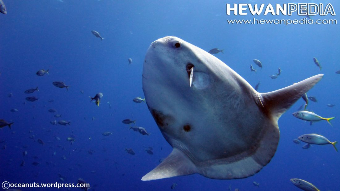 Ikan Mola-Mola atau Ikan Matahari