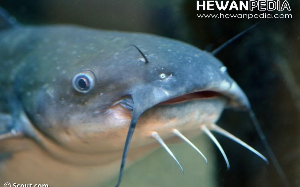 103+ Gambar Hewan Ikan Lele HD Terbaik