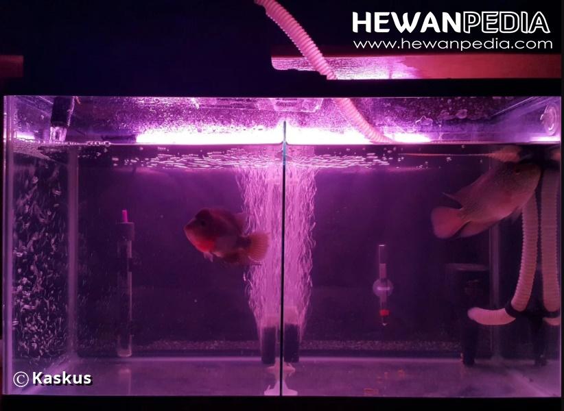 10 Kriteria Memilih Aquarium yang Cocok dengan Ikan Louhan