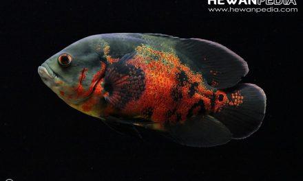 4 Cara Mudah Membedakan Ikan Oscar Jantan dan Betina