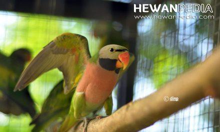 Penduan Lengkap Mengenal Makanan Burung Betet