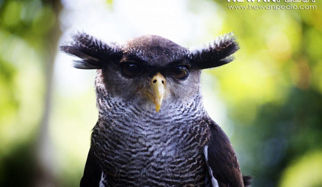 10 Fakta Menarik Tentang Burung Hantu