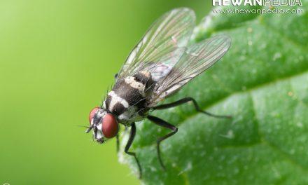 5 Jenis Lalat yang sering Anda Temui