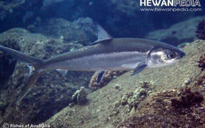 Ikan Bandeng serta Habitat, Morfologi dan Klasifikasi
