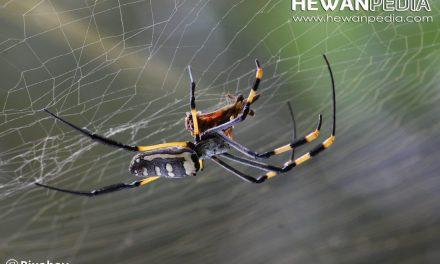 6 Karakteristik mengenai Laba-laba