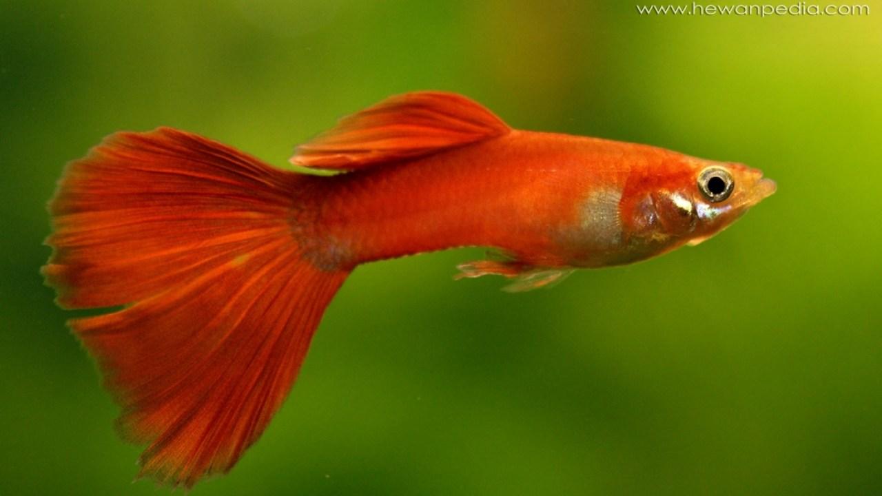 Tips Lengkap Cara Memelihara Ikan Guppy Hewanpedia