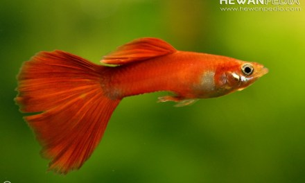 Tips Lengkap Cara Memelihara Ikan Guppy