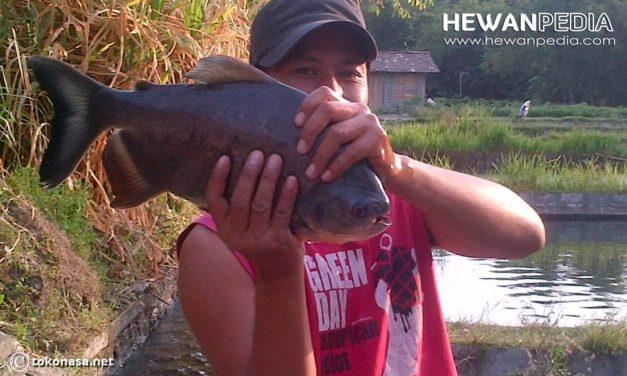 Teknik Memancing Ikan Bawal
