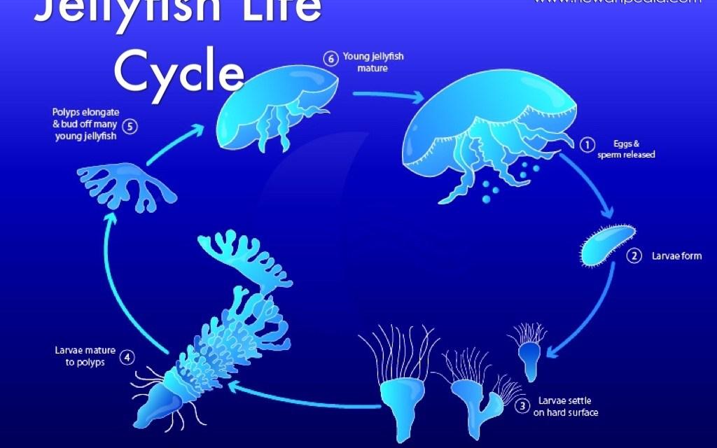Siklus Hidup Ubur-ubur
