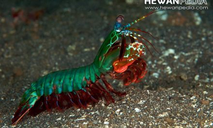 Udang Lipan (Mantis shrimp), Udang Tercantik di Lautan