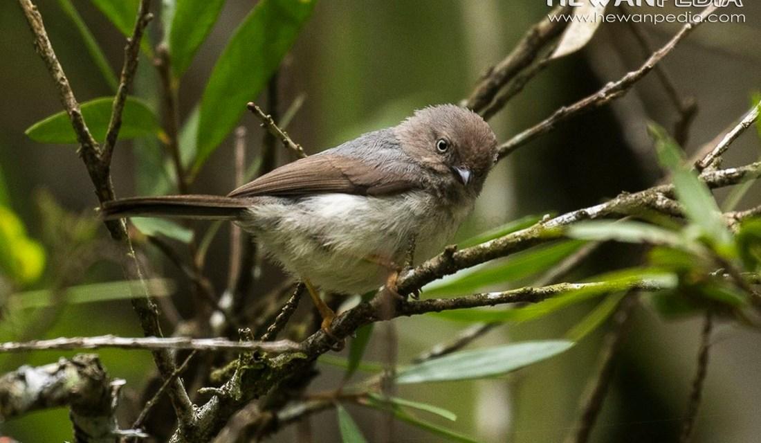 Burung Cerecet Jawa (Psaltria exilis)