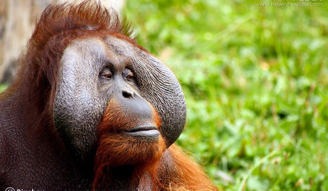 10 Fakta Menarik mengenai Orangutan