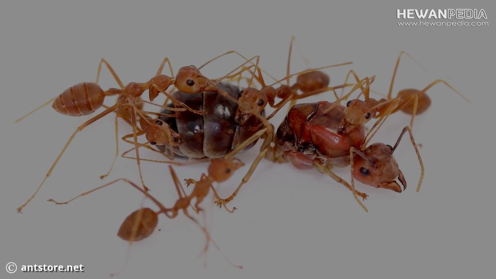 Asal Mula Adanya Koloni Semut Rangrang