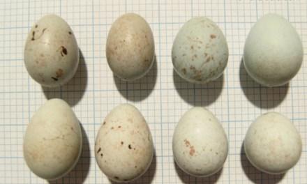 6 Faktor Penyebab Telur Burung Kenari Gagal