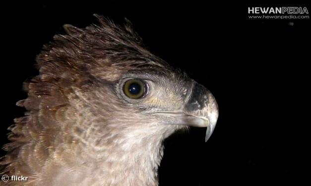 Elang Papua ( Harpyopsis novaeguineae ) dan Info Lengkapnya