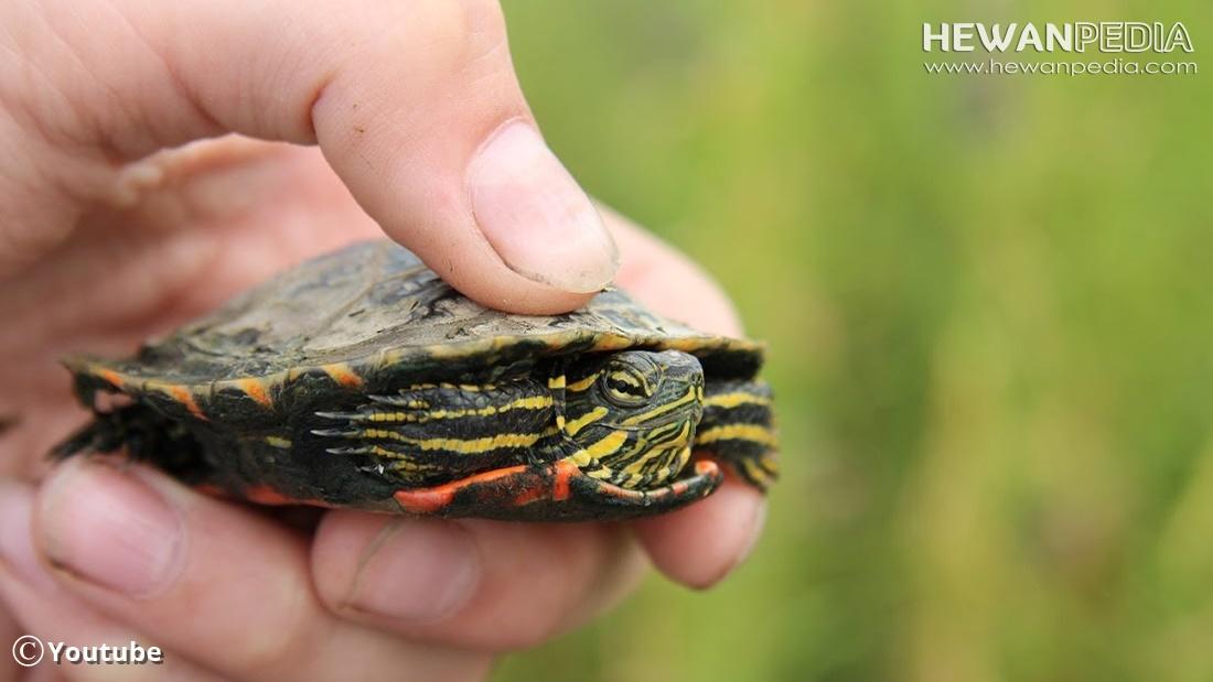 3 Penyakit Utama yang sering Menyerang Kura-kura dan Cara Mengobatinya