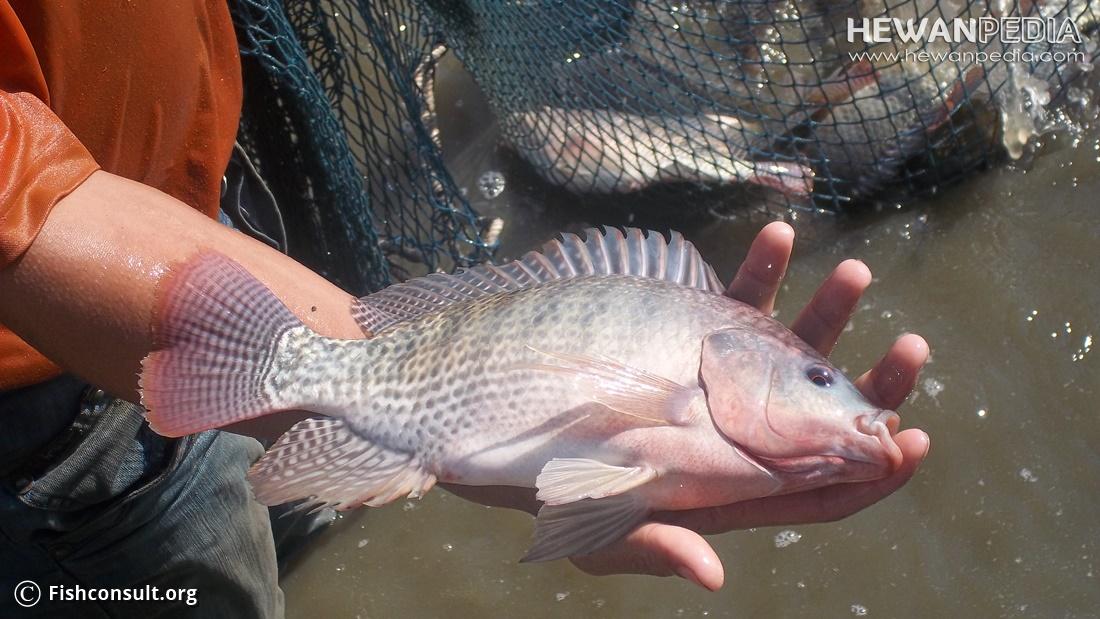 Cara Jitu Membuat Ikan Nila Cepat Besar
