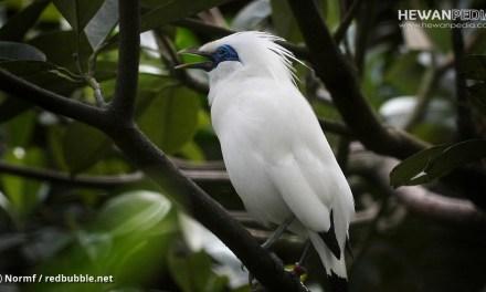 3 Penyakit yang Sering Menyerang Burung Jalak Bali