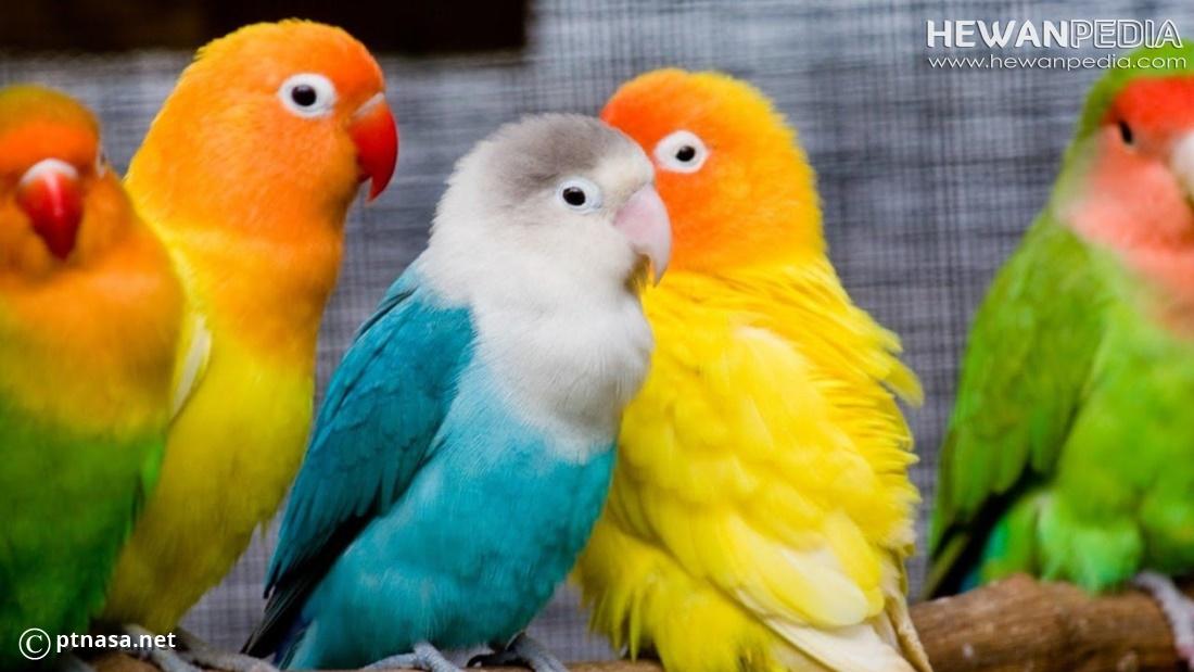 Cara Dan Ciri Membedakan Burung Lovebird Jantan Dan Betina Hewanpedia