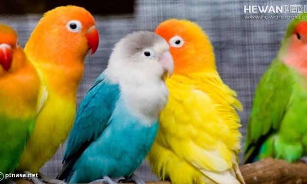 Perkiraan Kisaran Harga Burung Lovebird Januari 2019