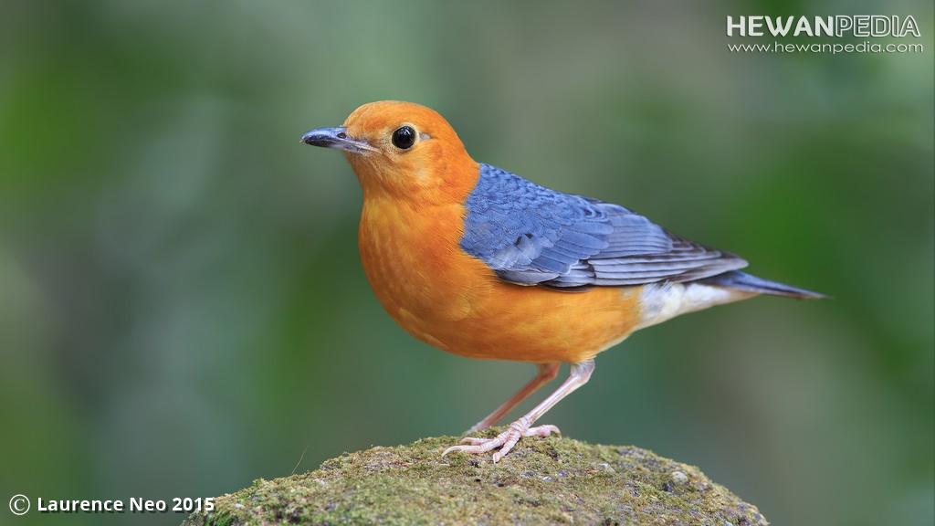 Ciri Perbadaan Antara Burung Anis Kembang Jantan dan Betina