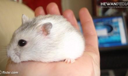 7 Cara Memelihara dan Merawat Hamster yang Baik dan Benar