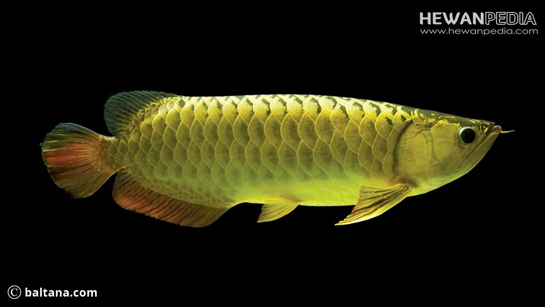 Cara Merawat Ikan Arwana agar Sehat dan Besar