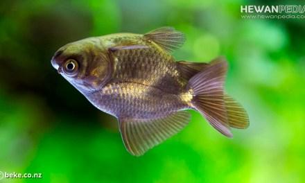 Penyebab dan Cara Mengobati Ikan Koki Berenang Terbalik