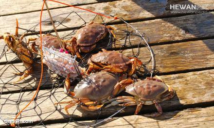 Cara Memancing Kepiting Terjitu