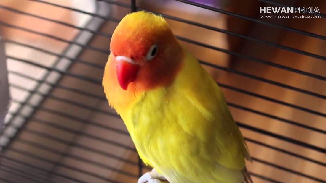 Jenis Penyakit Burung Lovebird dan Cara Mengobatinya ...