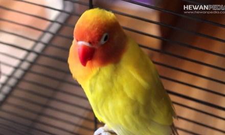 Jenis Penyakit Burung Lovebird dan Cara Mengobatinya