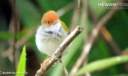 Ciri dan Cara Membedakan Burung Prenjak Kepala Merah Jantan dan Betina