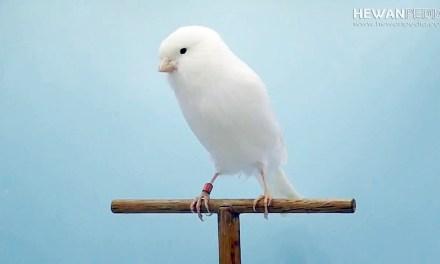 Perkiraan Kisaran Harga Burung Kenari Januari 2019