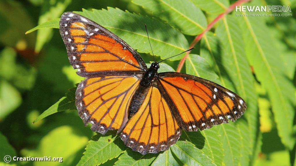 Anatomi dan Ciri fisik Kupu-kupu