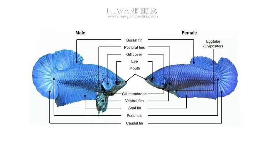 Ciri Dan Cara Membedakan Ikan Cupang Jantan Dan Betina Hewanpedia