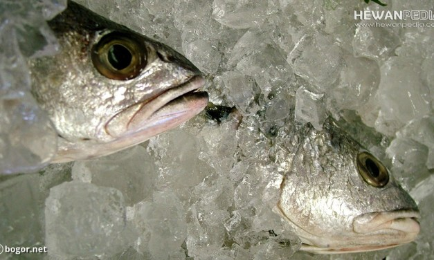 5 Cara Teknik Pengawetan Ikan secara Alami