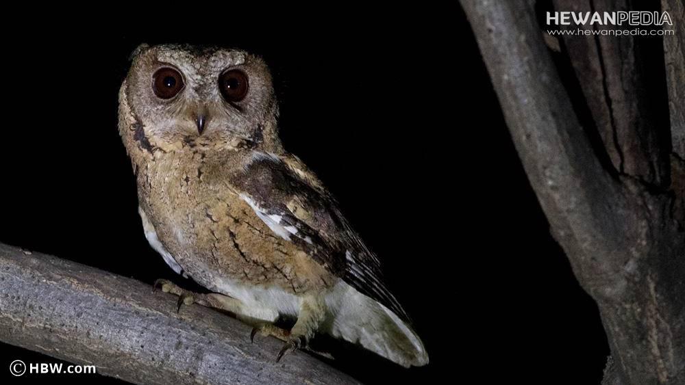 Cara Sederhana Memelihara Burung Hantu Celepuk Reban