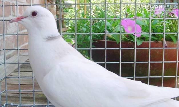 Kisaran Harga dan Mitos Memelihara Burung Puter Putih