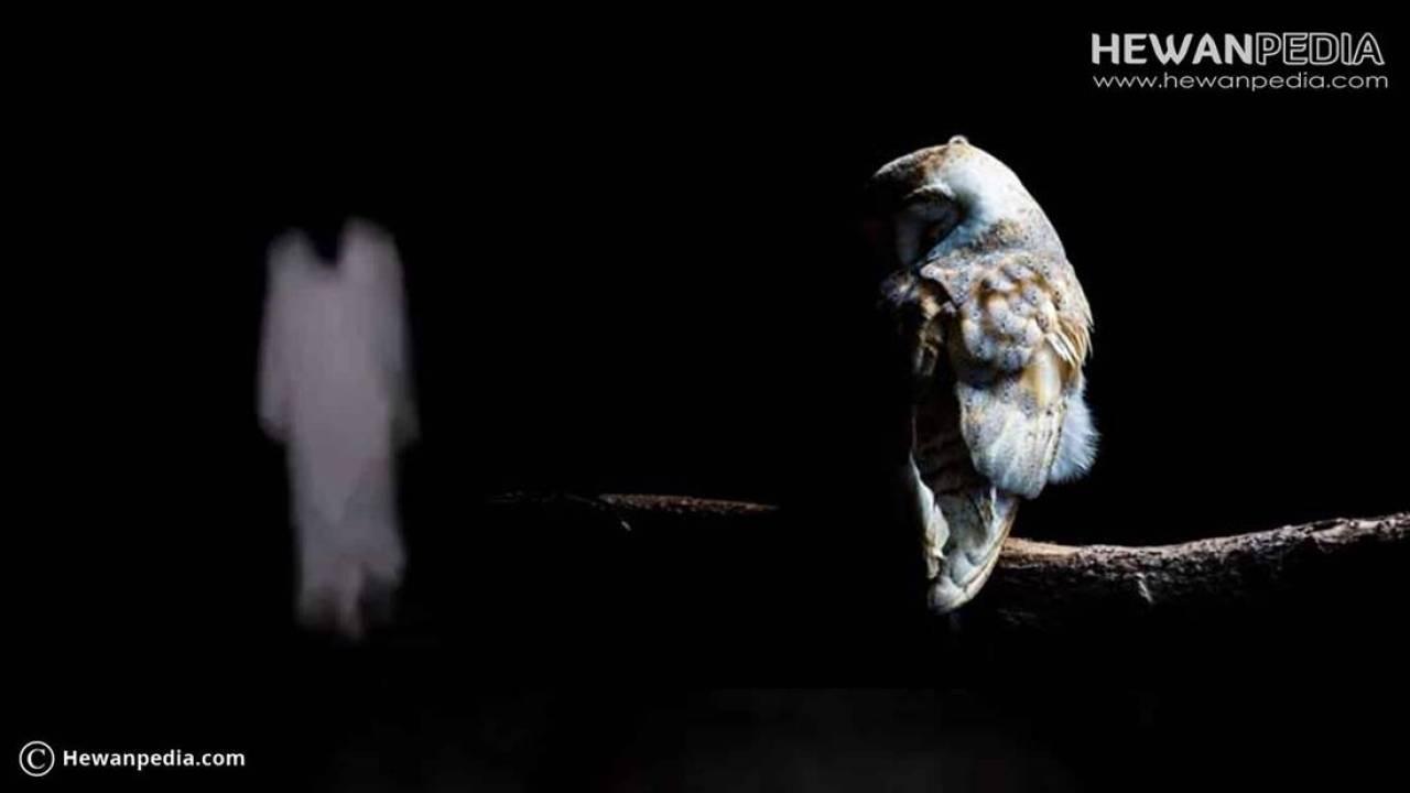 4 Arti Tanda Datangnya Burung Hantu Hewanpedia