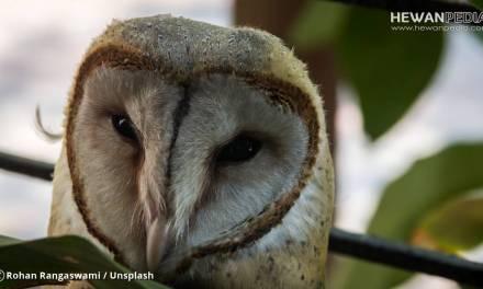 7 Cara Sukses Memelihara Burung Hantu atau Owl