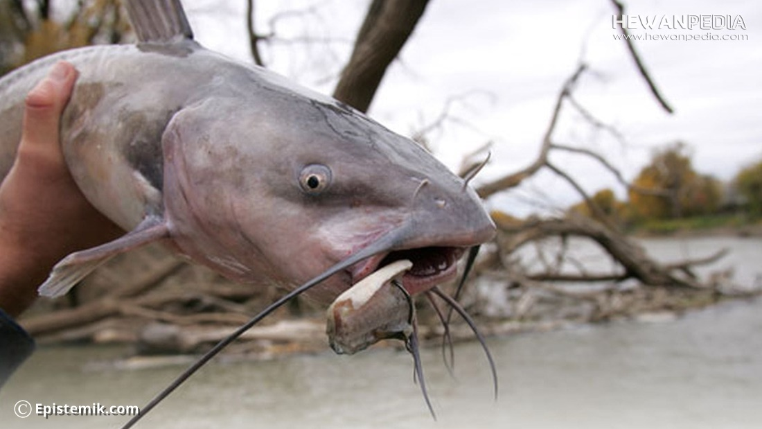 Berbagai Jenis Umpan Mancing ikan Lele paling Ampuh dan Jitu