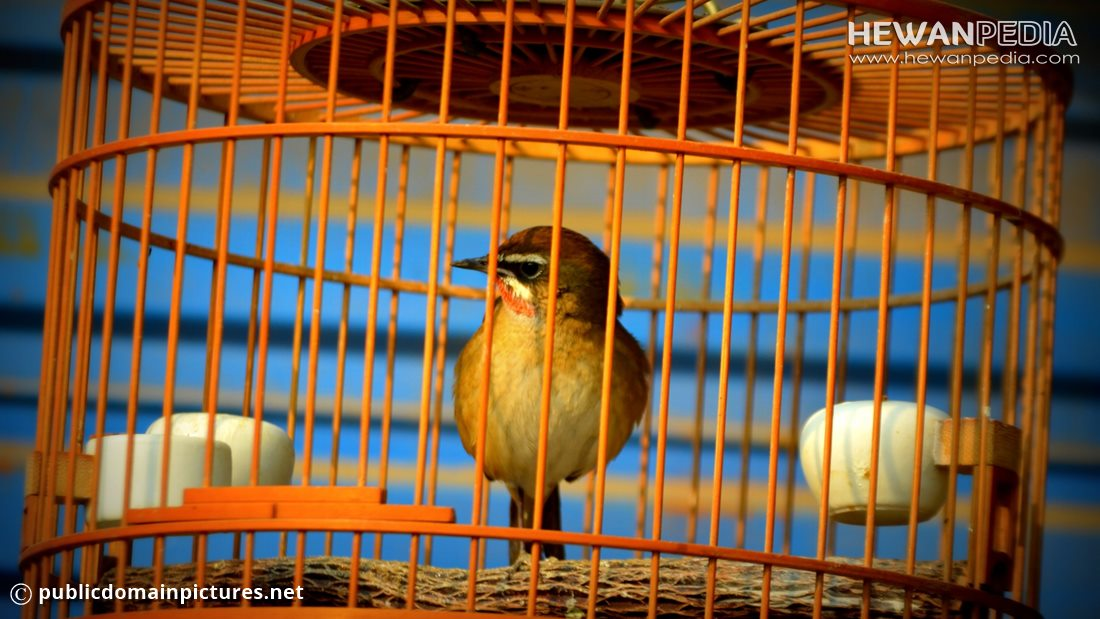 Ini Hukum Memelihara Burung dalam Sangkar menurut Ajaran Islam